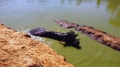 Water buffaloes in mud water in rural Myanmar Stock Footage
