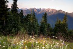 alpine meadow wildflowers hurricane ridge olympic mountains - stock photo