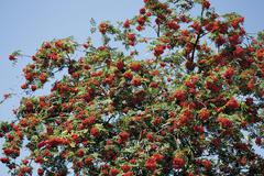 Stock Photo of rowan (sorbus aucuparia)