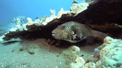 Mappa pufferfish sheltering under coral Stock Footage