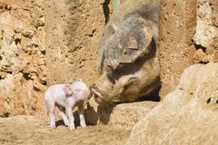 Domestic pig (sus scrofa domesticus) piglet, mother with young, mallorca, maj Kuvituskuvat