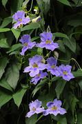 laurel clock vine or blue trumpet vine (thunbergia laurifolia), malaysia - stock photo