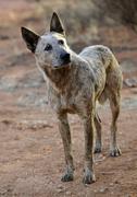 dingo (canis lupus dingo), northern territory, australia - stock photo