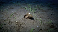 Devil scorpionfish crawling or walking along ocean floor at night Stock Footage