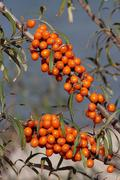 Sea buckthorn (hippophae rhamnoides) with ripe fruit Stock Photos