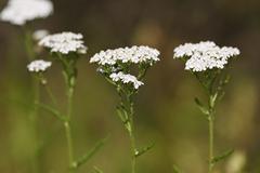 yarrow (achillea millefolium), medicinal plant - stock photo