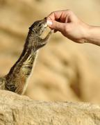 Stock Photo of barbary ground squirrel (atlantoxerus getulus), being fed by hand, fuertevent
