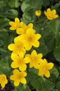 Flowering kingcup or marsh marigold (caltha palustris) Stock Photos