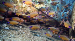 School of cardinal fish swimming next to sunken boat Stock Footage