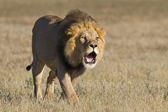 Stock Photo of lion (panthera leo), male roaring, central kalahari game reserve, botswana, b