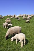 Domestic sheep (ovis ammon f. aries ), ewes with lambs on a dyke, wisch at th Kuvituskuvat