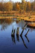 hill moor with lake and birches in autumn, naturschutzgebiet wittmoor nature  - stock photo