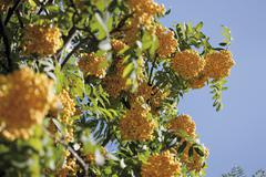 Stock Photo of rowan (sorbus aucuparia)