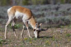 pronghorn, prong buck or pronghorn antelope (antilocapra americana), grand te - stock photo