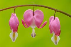 venus\'s car, bleeding heart, dutchman\'s trousers, or lyre flower (dicentra  - stock photo
