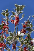 red berries of holly (ilex aquifolium) covered with hoarfrost - stock photo