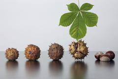 Stock Photo of horse chestnut (aesculus hippocastanum), leaf and fruit with and without caps