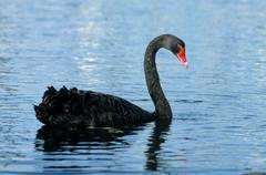 black swan (cygnus atratus), swimming - stock photo