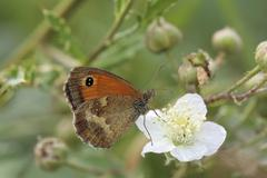rust brown meadow brown (maniola tithonus) butterfly - stock photo