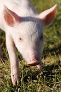 Young domestic pig (sus scrofa domestica) in summer in a meadow Kuvituskuvat