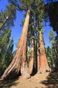 sequoias in foresta, yosemite west, yosemite national park, california, usa,  - stock photo