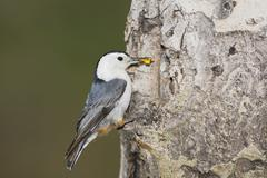 White-breasted nuthatch (sitta carolinensis), adult male on aspen tree, rocky Stock Photos