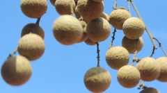 Longan fruits in the garden Stock Footage