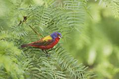 painted bunting (passerina ciris), male singing, sinton, corpus christi, coas - stock photo