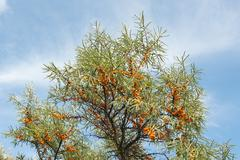 branch with berries of sea buckthorn - stock photo