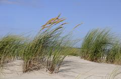 Beach grass (ammophila), amrum, north sea, schleswig-holstein, germany, europ Stock Photos