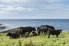Stock Photo of black aberdeen angus cattle grazing on a pasture on the north coast of scotla