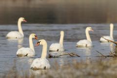Stock Photo of mute swans (cygnus olor) floating on a river, fuldabrueck, hesse, germany, eu