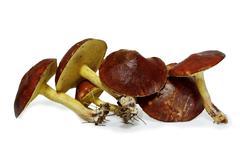 Slippery jack mushrooms (suillus granulatus) isolated on white background Stock Photos