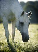 Grey thuringian warmblood mare, with backlighting Stock Photos