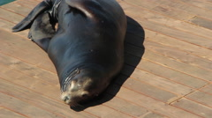 Sea Lion Sleeping On Boat Dock Stock Footage