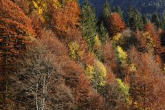 Stock Photo of autumnal mixed forest at hoelltobel, community of oberstdorf, upper allgaeu,