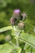 Greater burdock, edible burdock, lappa (arctium lappa), baikal, siberia, russ Stock Photos