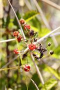 yellow himalayan raspberry (rubus ellipticus), with thorns, invasive species, - stock photo