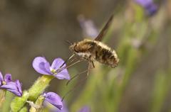 large bee fly (bombylius major) sucking nectar from an aubrieta (aubrieta) un - stock photo