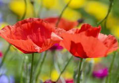 Poppies (papaver rhoeas), flowers Stock Photos