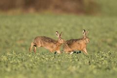 European hares (lepus europaeus), fuldabrueck, hesse, germany, europe Stock Photos