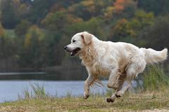 Golden retriever (canis lupus familiaris), male dog running, in autumn Kuvituskuvat