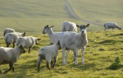 Sheep on a pasture near the stacks of duncansby, north coast of scotland, joh Stock Photos