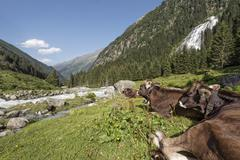 Stock Photo of tyrolean brown cattle, cows without horns ruminating, grawa alm, mountain pas