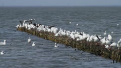 Gulls resting on a spur of dike Stock Footage