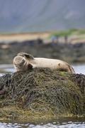 Stock Photo of harbor or harbour seal (phoca vitulina), snæfellsnes, snæfellsness, iceland