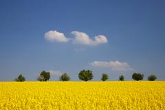 Field of rape or canola (brassica napus) with trees at the rear Stock Photos
