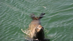 Sea Lion Jumps Onto Boat Dock Stock Footage