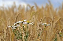 Stock Photo of chamomile or camomile (matricaria chamomilla), rye (secale cereale), rye fiel