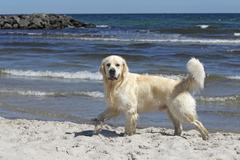 Golden retriever dog (canis lupus familiaris), male, two years, running on th Kuvituskuvat